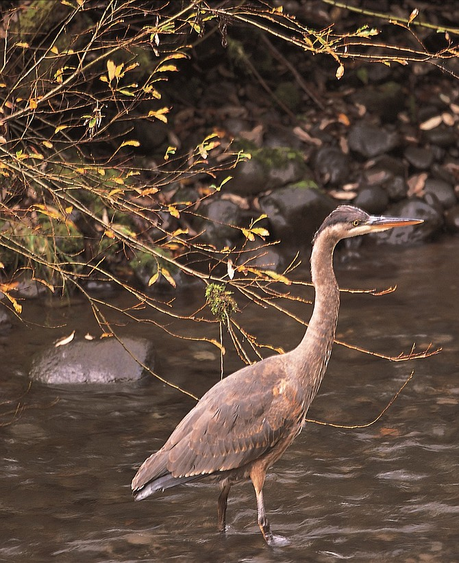 BEFORE the fire: heron waits patiently for spawning salmon in Eagle Creek.