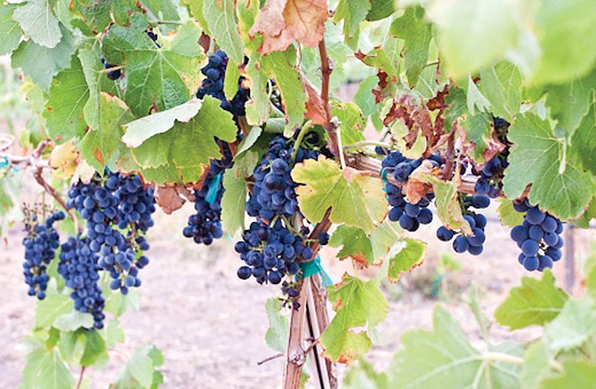 "When it's harvest time in the valley, it's time for some old-fashioned grape stomping. This weekend, a variety of ""Catch the Crush"" events are planned at the more than 40 wineries in the region."