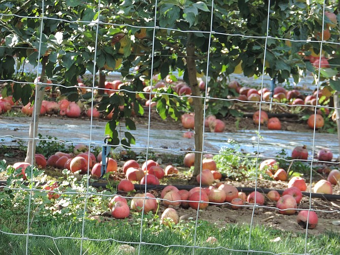 How 'bout those apples? Food that might fall to the ground or otherwise go to waste can be made available to Columbia Gorge Gleaning Project.