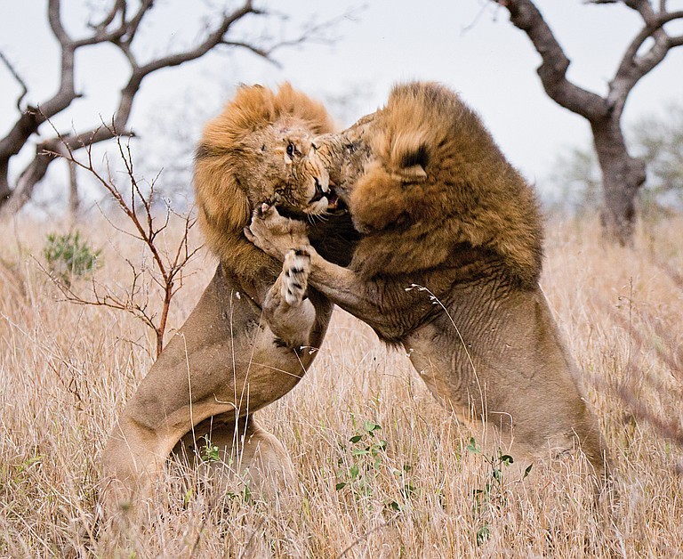 A pair of lions fighting over a nearby lioness was captured on film by Shannon Robison while she and her husband Bryan Robison, State Farm insurance agent, vacationed in Africa.