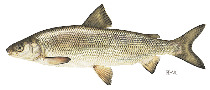 Whitefish. The Washington state record for a whitefish is 6.81 pounds caught by Tony Martin on April 12, 2013, in Rufus Woods Lake in Okanogan County.