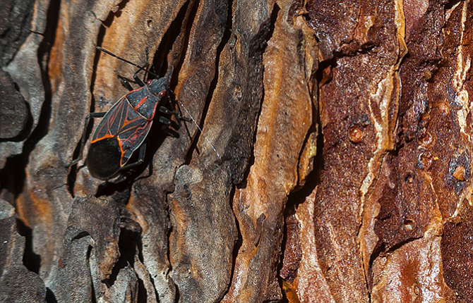 A Boxelder bug (Boisea trivittatus), with orange markings on its wings and bright red eyes, hunts for a crevice in the bark of a Ponderosa Pine where it can shelter for the winter. The insects often overwinter in large groups.