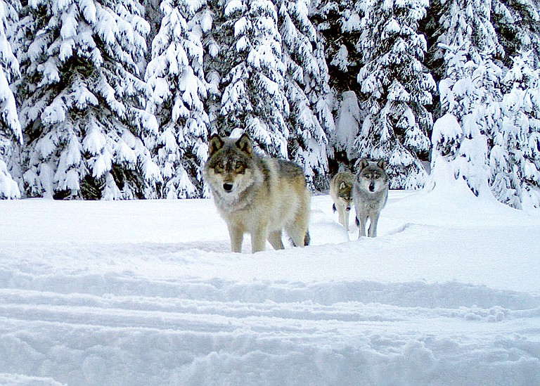 WOLVES from the Walla Walla pack in Umatilla County seen in a remote camera image taken in January 2017. Despite rumors, according to ODFW no wolves have been released in Hood River County, and the last confirmed sighting was in 2015.