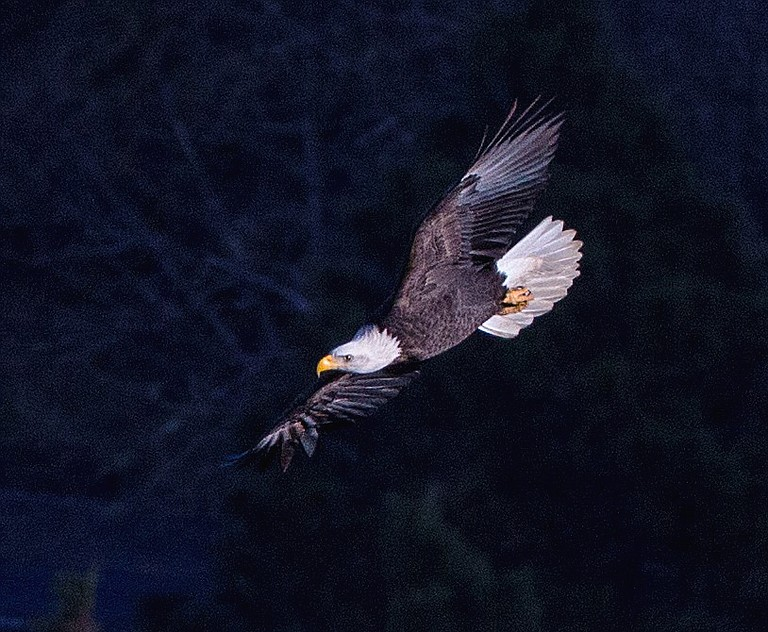 An eagle soars in the Columbia Gorge.