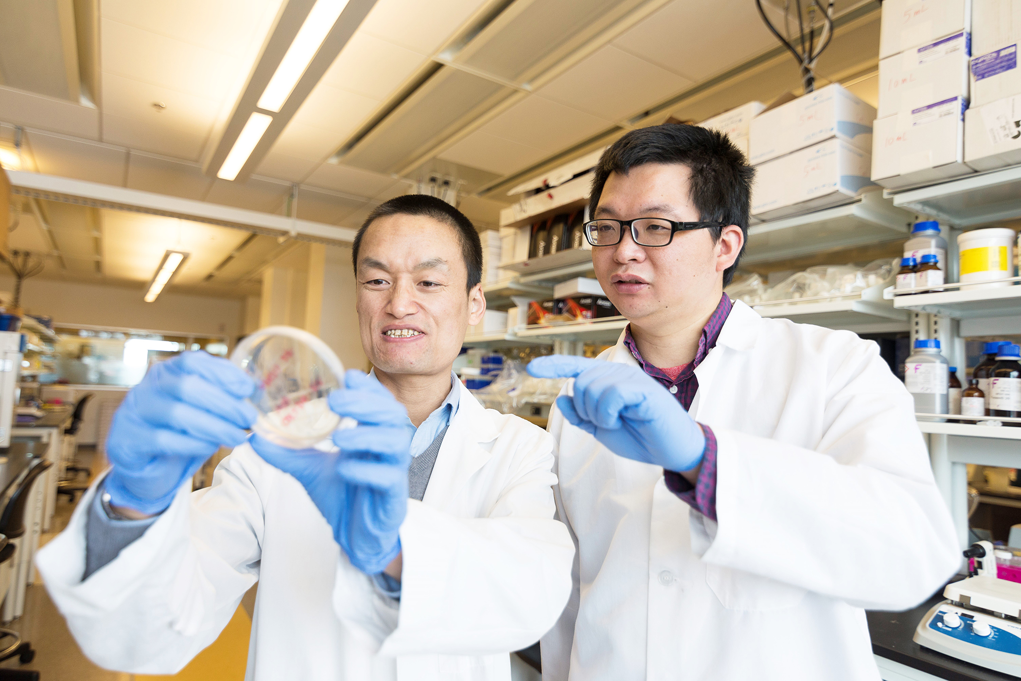 Assistant professor Zhaokang Cheng and postdoctoral fellow Peng Xia examine bacterial cultures used to grow genes of interest to their research, such as the CDK2 gene. The genes are then isolated and introduced into cardiac muscle cells to study their function.