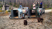State Department of Fish and Wildlife Sgt. Dan Christensen recorded this video of the release of a mama bear and her three cubs Friday, Sept. 11, 2015. The bears were captured in a tree at Esther Bricques Winery near Ellisforde. The original video was much longer. We've edited out several minutes of footage between the cubs leaving the first trap and the mama and cub leaving the second trap.