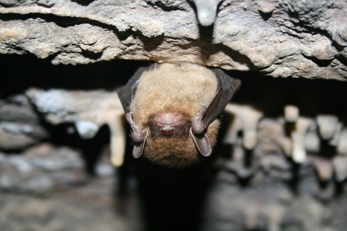 This little brown bat is not hiding, it's hibernating. In order to survive months without food, bats slow down their bodily functions - like body temperature, heart rate and breathing - to conserve energy.